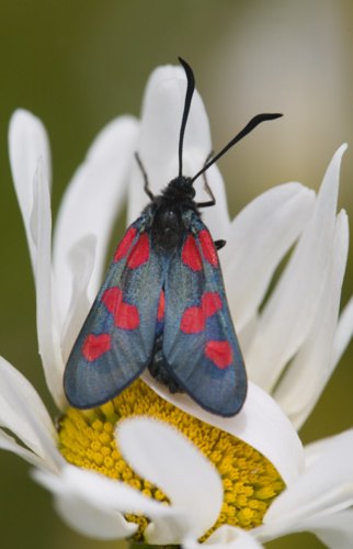 5_Spotted_Burnet_Moth