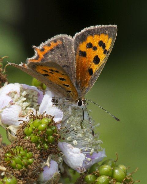 Smal Copper Butterfly