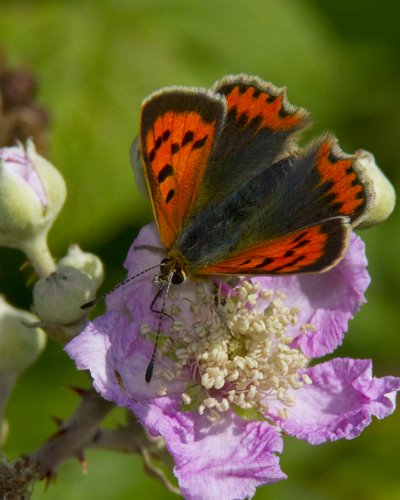 Small_Copper_Butterfly_Feeding_On Bramble_Nectar
