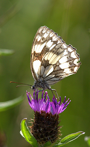 Marbled_White_Butterfly_2