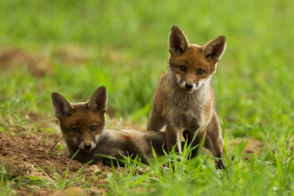 Playing Red Fox Cubs