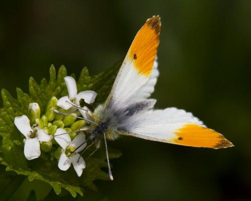 Male Orange-tip