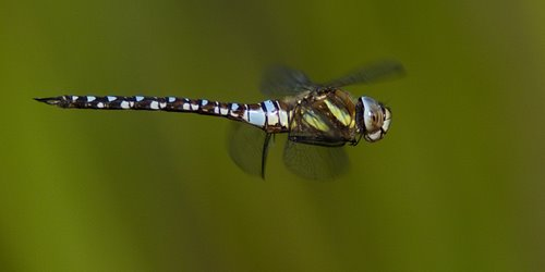 Migrant Hawker in Flight Flying