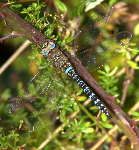 Migrant_Hawker_<br>