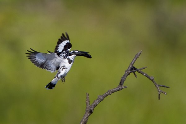 Pied_Kingfisher_With_Fish