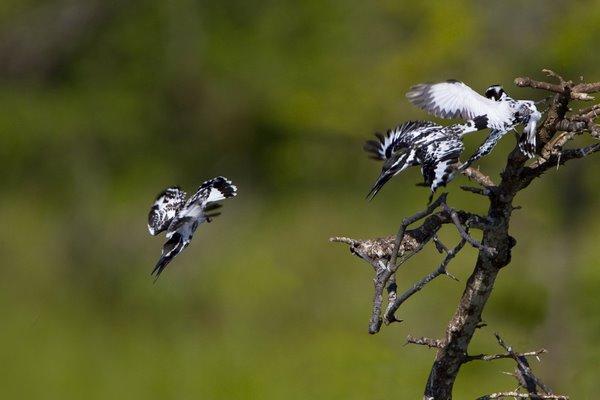 Squabbling_Pied_Kingfisher