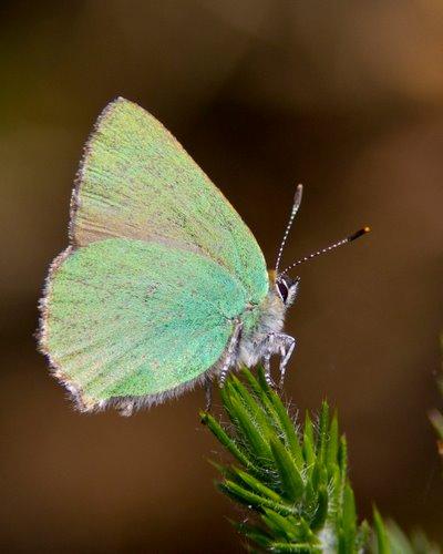 Green_Hairstreak_Butterfly