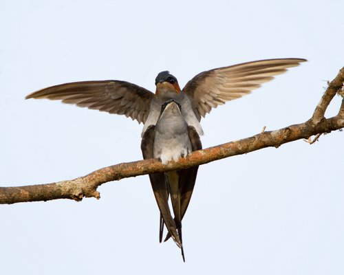 Mating_Crested_Treeswift