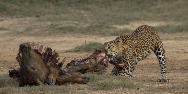 Leopard_With_Kill