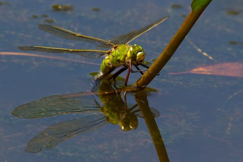 Emperor_Dragonfly_Ovipositing