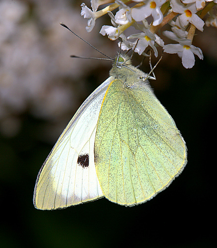 large_White<br> _Butterfly
