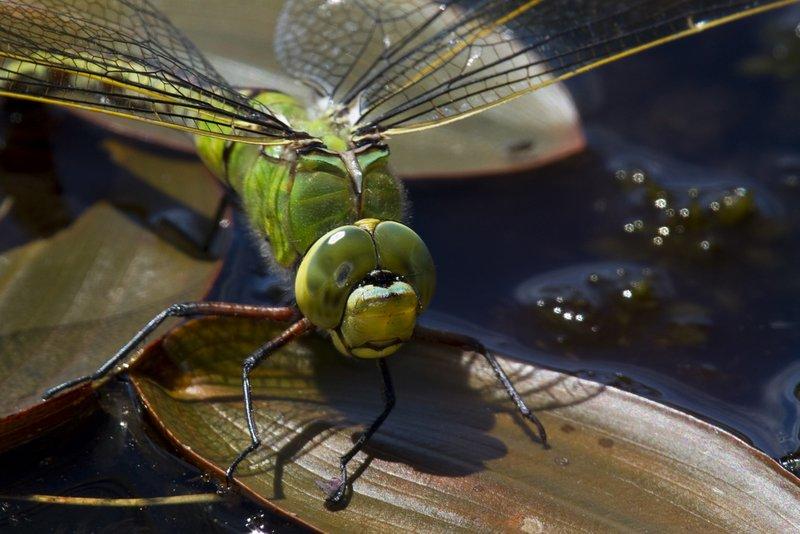 Female Emperor Dragonfly