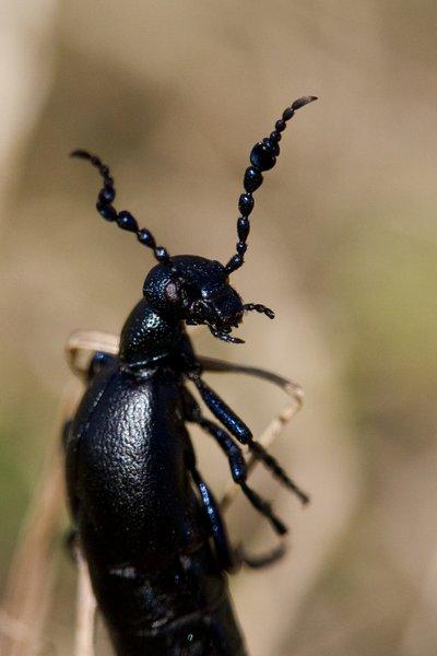 Black Oil Beetle