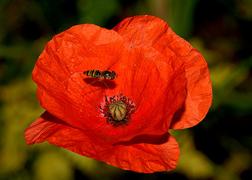 Poppy_&_Hover_Fly