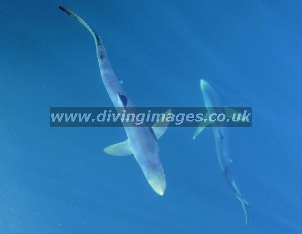 CORNWALL BLUE SHARKS 09