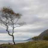 Ardgour lone tree copy