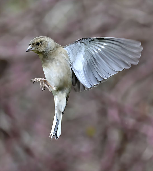 Chaffinch Hovering