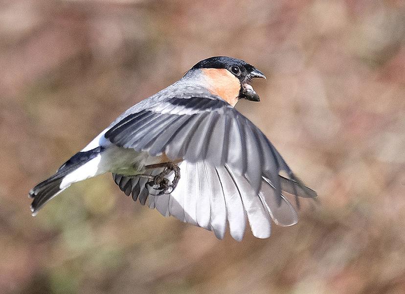 Bullfinch approaching feeder