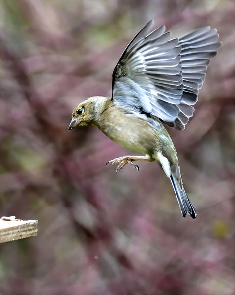 Another Chaffinch
