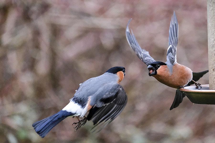 Fighting Bullfinches