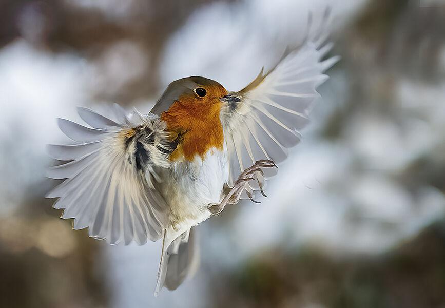 Robin approaches feeder