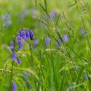 Bluebells in the field