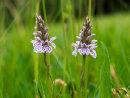 Two little Cornish Orchids
