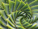 Nature's own golden spiral