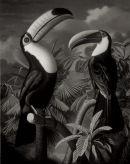 'Toucans' (monochrome version), Oil on Canvas, 20