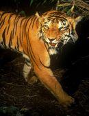 Tiger World 2