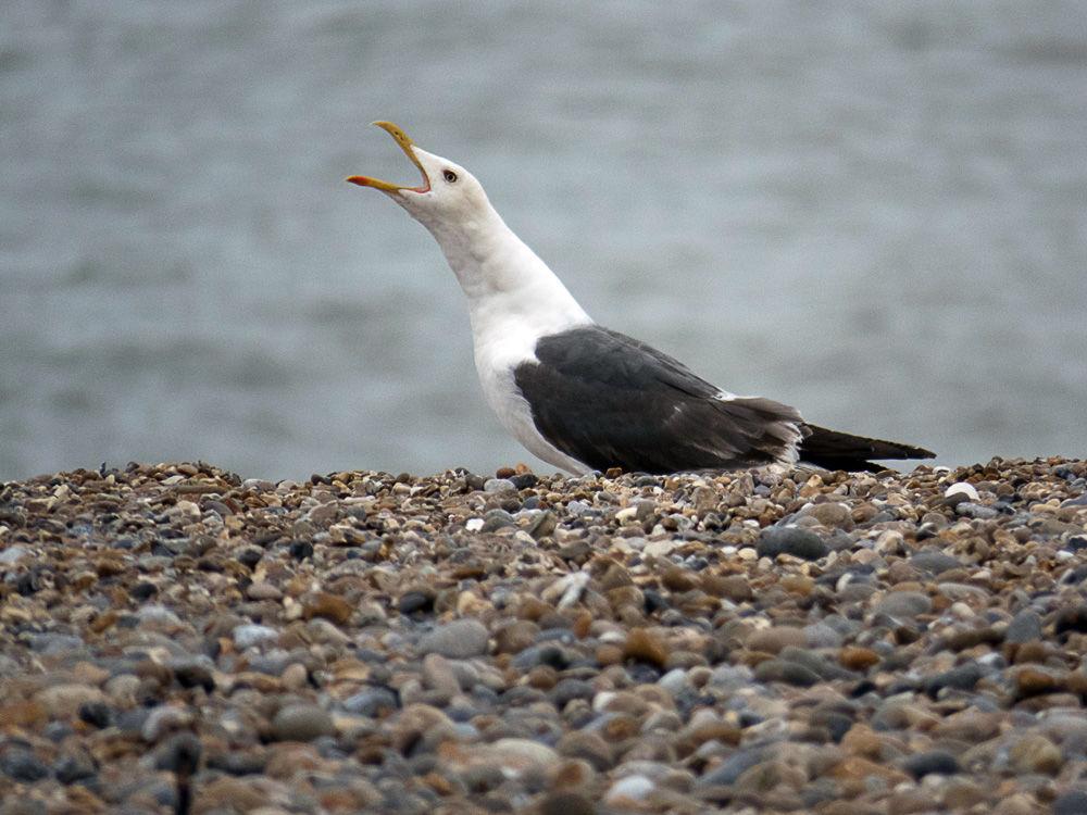 Calling Gull