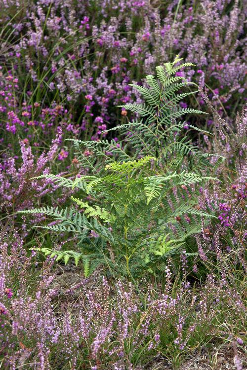 Ferns at Dunwich Heath