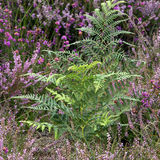 Ferns at Dunwich Heath