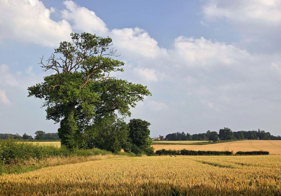 Golden fields of barley