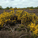 Gorse Bushes at Dunwich Heath 2