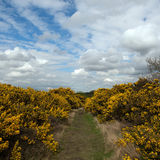 Gorse Bushes at Dunwich Heath