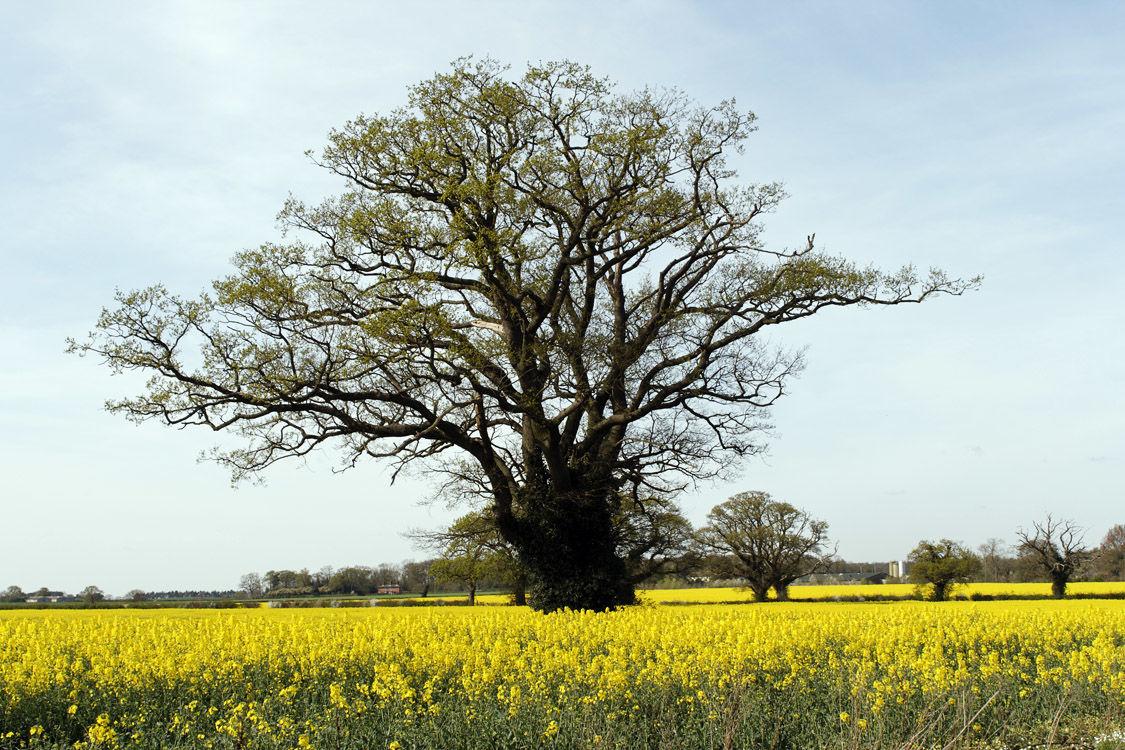 Oak Tree surrounded by Rapseed