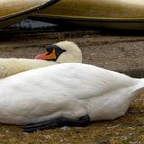 Resting Swan