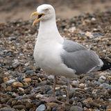 Sea Gull 3