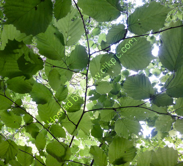 cloak of green