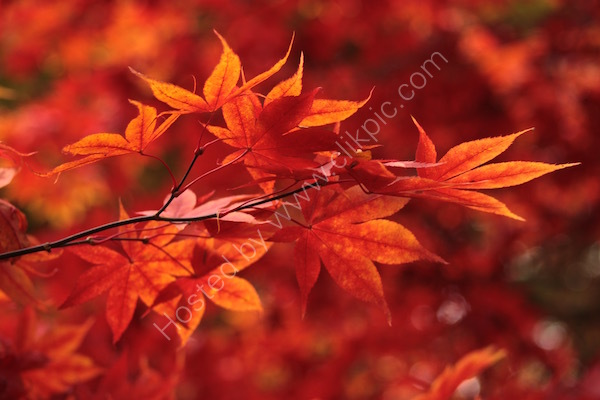 firecracker foliage