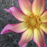 Lacock Abbey bloom