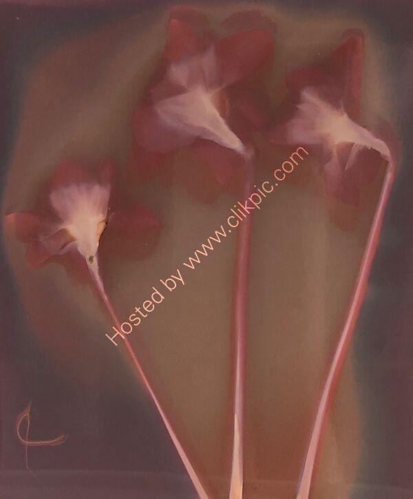 lumen print daffodils