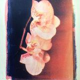 gum bichromate orchid