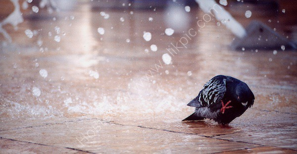 Pigeon shower