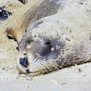 Female Sea Lion, Surat Bay, New Zealand