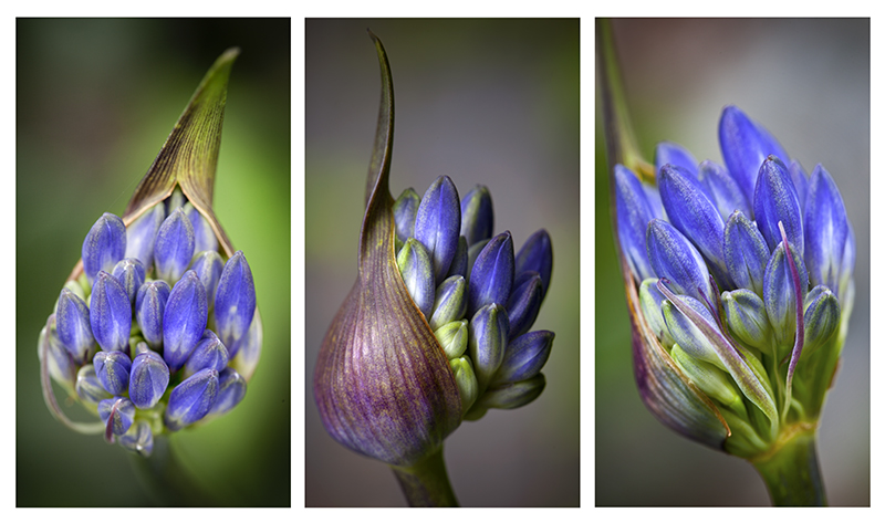 Agapanthus tryptych