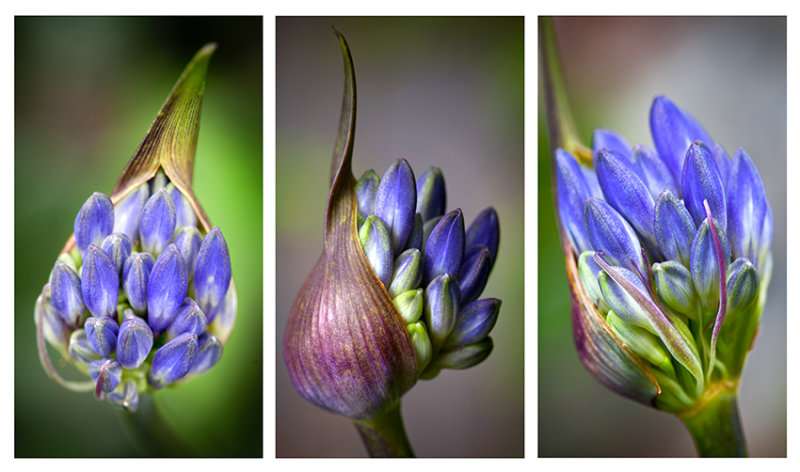 Agapanthus tryptich