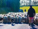 Otago sheep farming