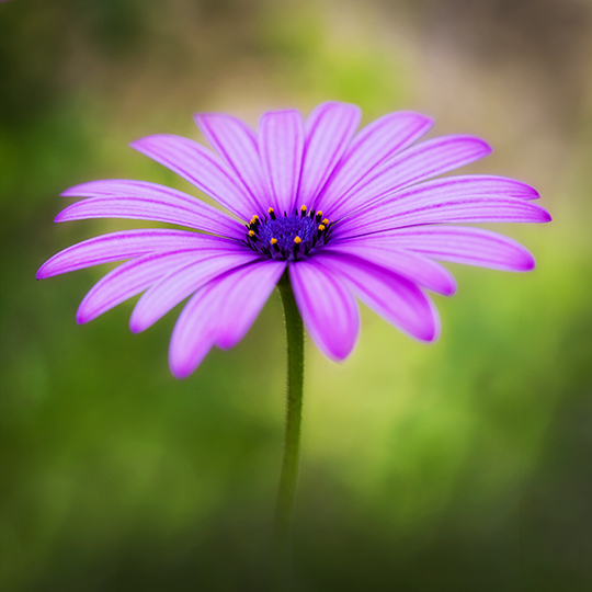 Osteospermum (not available for greeting cards)